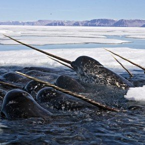 NARWHALS - THE REAL UNICORNS