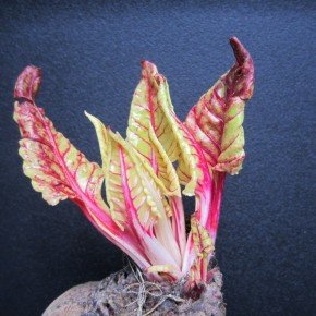 THE STUBBORN RED BEET