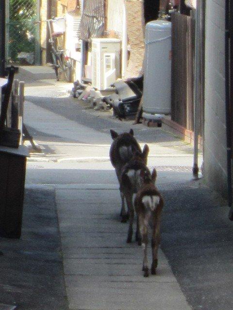 top 5 miyajima deer