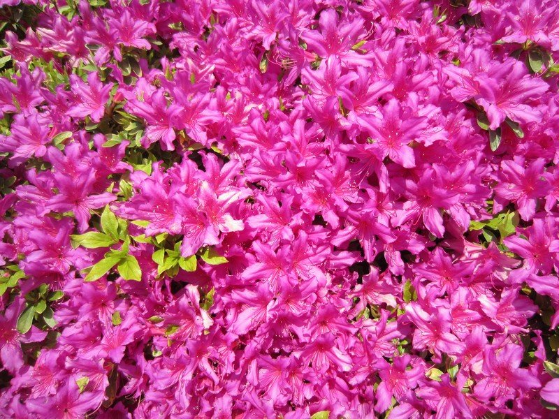 flowers japan 22
