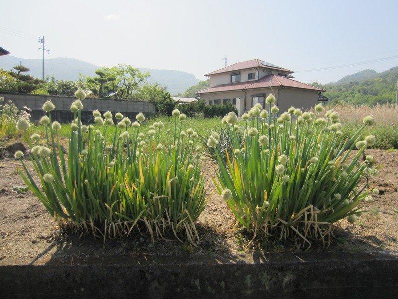 flowers japan 58